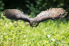 Great Horned Owl // Grand Duc d'Amérique (photo.dan.stevenson) Tags: hiboux grandduc rapace bird