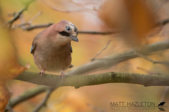 Jay (Matt Hazleton) Tags: jay garrulusglandarius bird wildlife animal nature outdoor autumn colour london canon canoneos7dmk2 canon100400mm eos 7dmk2 100400mm matthazleton matthazphoto hydepark