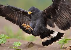 Black Hawk - Costa Rica (www.studebakerstudio.com) Tags: black hawk costa rica blackhawk costarica raptor bird nature prey