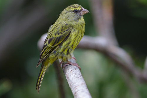 Forest canary, Crithagra scotops, female at Kirstenbosch