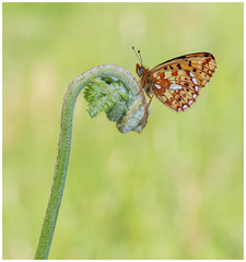 Pearl Bordered Fritillary - Clossiana euphrosyne. (nigel kiteley2011) Tags: butterfly butterflies macro lepidoptera insects nature wildlife wyre canon 5dmk3 sigma180mm fritillary