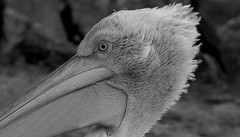 Wien - Tiergarten Schönbrunn - Pelican (Bardazzi Luca) Tags: vienna wien austria europe city citta building luca bardazzi desktop wallpapers image olympus em10 micro four thirds 43 foto flickr photo picture internet web österreich zoo bird