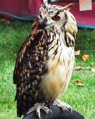 Bengalese Owl (catrionatv) Tags: hampshire winchester stcross michaelmasfair falconhigh mastersgarden perch netting grass avian bengaleseowl stcrosschurch