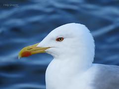 Yellow-legged gull. (Vitaly Giragosov) Tags: yellowleggedgull larusmichahellis blacksea crimea sevastopol russia рф севастополь каменкаобыкновенная чёрноеморе средиземноморскаячайка