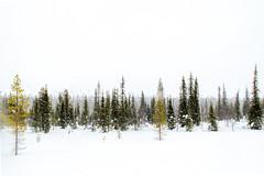 forest in Lapland (ikkasj) Tags: winter finland lapland landscape muonio snow
