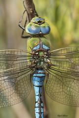 Anax imperator (Leach, 1815) (Pipa Terrer) Tags: anaximperator odonata dragonfly libélula anisoptera moratalla insecta invertebrados insectos