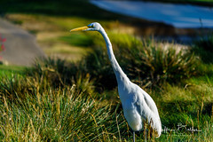 Egret-942151 (Jeffrey Balfus (thx for 5.5M views)) Tags: egret birds waterfowl nature sonya9 ilce9 thegalaxy