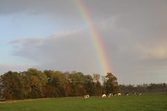 The rainbow, above the heifers (excellentzebu1050) Tags: field rainbow heifer livestock farm dairycows dairyfarm trees grass animals coth5 sunrays5
