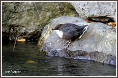 Cincle plongeur 191106-01-P (paul.vetter) Tags: faune avifaune oiseau cincluscinclus cinclidés cincleplongeur whitethroateddipper mirloacuáticoeuropeo melrodàgua wasseramsel
