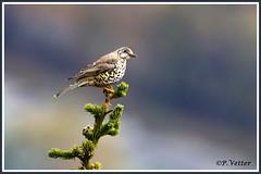 Grive draine 191106-01-P (paul.vetter) Tags: oiseau faune avifaune animal grivedraine mistlethrush zorzalcharlo tordeia misteldrossel turdusviscivorus turdidé