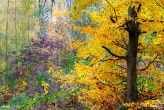Impressionnisme (Pascale_seg) Tags: automne autumn autunno forêt bois wood arbres alberi trees orange couleursdautomne moselle lorraine grandest france nikon impressionnisme jaune yellow giallo