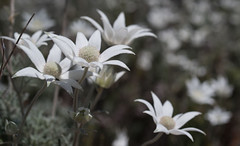 Fluttering Flannel Flowers (OzzRod) Tags: pentax k1 smcpentaxdfa50mmf28macro plant flowers flannelflowers actinotushelianthi boatharbour tomareenationalpark nsw australia