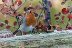 14112012-DSC_0032 (vidjanma) Tags: automne oiseau rougegorge
