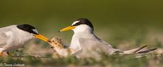 Little tern (Sternula albifrons) rybitwa białoczelna - feeding (tomaszberlin) Tags: