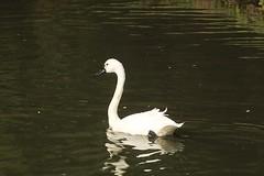 Whistling swan, WWT Slimbridge, UK (inyathi) Tags: uk england gloucestershire wwt slimbridge wildfowlandwetlandstrust waterfowl wildfowl birds swans whistlingswan cygnuscolumbianuscolumbianus