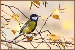 Mésange charbonnière 191104-01-P (paul.vetter) Tags: faune avifaune oiseau animal mésangecharbonnière parusmajor greattit carbonerocomún chapimreal kohlmeise paridés