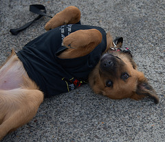 Young Police Dog Trainee (Scott 97006) Tags: police dog canine animal cute young