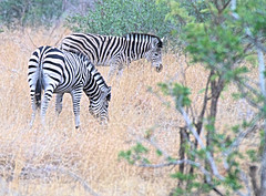 Zebras in the wild in South Africa (` Toshio ') Tags: toshio southafrica africa zebra zebras safari animal nature bush mammal tree canon7d 7d wildlife stripes