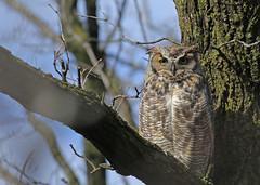 Great Horned Owl...#1 (Guy Lichter Photography - 5.2M views Thank you) Tags: canon 5d3 canada manitoba winnipeg wildlife animal animals bird birds owl owls greathornedowl