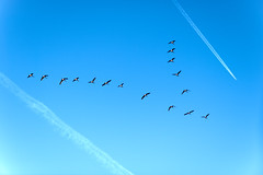 Tactical Retreat (Chancy Rendezvous) Tags: canadian geese plump skein flyingsouth autumn fall contrails flying migratory birds migration sky blue bluesky nikkor nikon d810 nikond810
