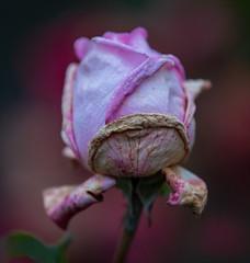 The Hues of Autumn (Ernie Misner) Tags: flower rose f8andshoottheocthues pointdefiancepark tacomawa erniemisner 70200efl lightroom nik topazstudio pscc rosesgetoldandneedlovetoo