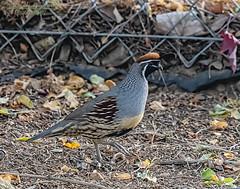 Gambel's Quail - Explore (Patrick Dirlam) Tags: birds landbirds ourhouse arizona gambels quail explore explored