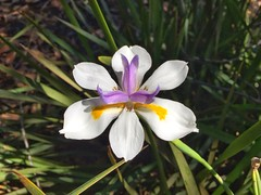 Lily (sander_sloots) Tags: lily flowers flower perth beautiful bloem lelie iphone iphone6 white wit plant