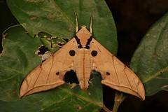 Violet Gliding Hawk Moth (Ambulyx liturata, Sphingidae) (John Horstman (itchydogimages, SINOBUG)) Tags: insect macro china yunnan itchydogimages sinobug entomology canon hawk sphinx moth lepidoptera sphingidae tumblr