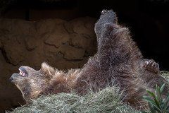 Bed Roll (helenehoffman) Tags: omnivore brownbear ursusarctoshorribilis wildlife mammal grizzlybear ursus conservationstatusleastconcern nature ursusarctos sandiegozoo carnivore animal
