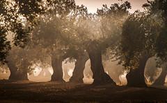 Gigantes entre las tinieblas II (amg3006196316) Tags: olivos paisajes recuerdos