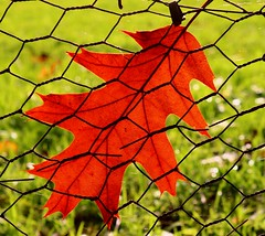 Autumn to the wire (M.T.A.V) Tags: autumn atumnal canon canoneos750d colours canon750d red orange leaves leaf wire photography perspective upclose infocus nature loneleaf fence abstract colourful view
