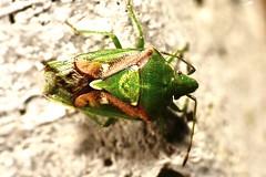 Cyphostethus tristriatus (lloyd177) Tags: cyphostethus tristriatus juniper shieldbug somerset