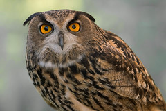 Mozart the Owl. (LisaDiazPhotos) Tags: lisadiazphotos sdzsafaripark sdzoo sdzsp sandiegozoo sandiegozooglobal sandiegozoosafaripark