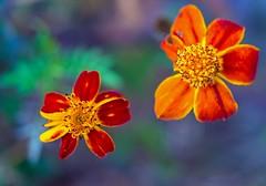 Binary system (L@nce (ランス)) Tags: flower flowers orange macro micro victoria nikon jamesbay nikkor canada bokeh britishcolumbia