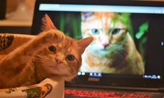 Strength, little fighter! 💪💕 (En memoria de Zarpazos, mi valiente y mimoso tigre) Tags: spritz littlejoey gingercats friends cat gato gatto orange ginger force