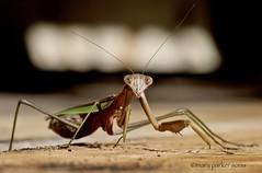 Praying Mantis (Mary Sonis) Tags: insect mantis northcarolina nature wildlife predator