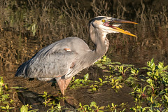 Hungry Great Blue (MelRoseJ) Tags: birds bayarea northerncalifornia nature greatblueheron