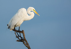 Curious Watcher (Ania Tuzel Photography - Off till Feb) Tags: florida birdphotography greategret czaplabiala venicerookery ardeaalba