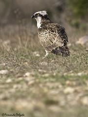 Águia-Pesqueira (Pandion haliaetus) | Osprey (Fernando Delgado) Tags: portugal algarve pandionhaliaetus viladobispo águiapesqueira osprey rapina aves