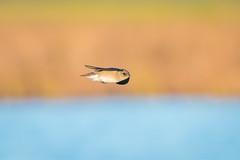Rothko's Swallow (gseloff) Tags: northernroughwingedswallow bird flight bif markrothko colorfieldpainting bokeh water marshgrass brazorianationalwildliferefuge nwr texas gseloff