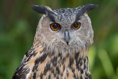 Beethoven the Owl. (LisaDiazPhotos) Tags: lisadiazphotos sdzsafaripark sdzoo sdzsp sandiegozoo sandiegozooglobal sandiegozoosafaripark beethoven owl