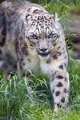 Walking in the high grass (Tambako the Jaguar) Tags: snowleopard big wild cat walking coming paw grass tongue portrait face salzburg zoo austrian nikon d5