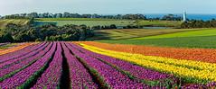 Tulip Farm Panorama (David Hamments) Tags: tasmania panorama wynyard tulipfarm tablecape fantasticnature flickrunitedaward