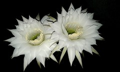Esta noche misma!! (mnovela2293) Tags: echiopsis eyriesii ombligodelareinaingléspinkeasterlilycactus redeasterlilycactusechinopsiszucc argentina chile bolivia perú brasil ecuador paraguay y uruguay cactaceae cactus