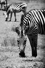 Africa in b/w (Herrmaennchen) Tags: zebra animal animals wildlife serengeti tanzania africa bw blackandwhite nature travel reise canon sigma