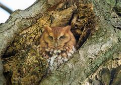 Screech Owl (Jamie Lenh Photography) Tags: nature wildlife birds owls easternscreechowl nikon tamron ontario canada birdwatcher