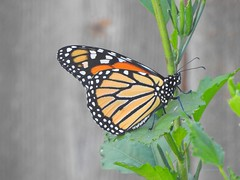 Monarch Butterfly (Anton Shomali - Thank you for over 3 million views) Tags: beautiful photo photography picture capture nature colors beauty yellow red orange monarch butterfly mexican sunflower color colour bright art bold sony slta77v camera sun summer light sunny spread your wings fly away nikon coolpix p900 bigger than life blue sky shadow plant backyard skies