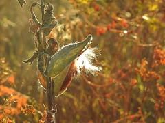 Fall colors ~ Explored (Jane Lazarz Nature Photography) Tags: fountaincreeknaturecenter janeelizabethlazarz walkingcolorado nikon p900 nikonp900 coloradosprings colorado janelazarz photographybyjanelazarz breathtakingcolorado fountaincreekco milkweed