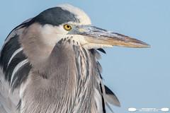 Early Morning Great Blue Heron Portrait (freshairphoto) Tags: wading bird great blue heron portrait feathers sky beak eye huntington beach state park south carolina artspearing wildlife nikon d500 200500 zoom handheld