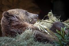 Bedding Details (helenehoffman) Tags: omnivore brownbear ursusarctoshorribilis wildlife mammal grizzlybear ursus conservationstatusleastconcern nature ursusarctos sandiegozoo carnivore animal